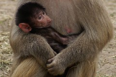 Safe (patries71) Tags: baby monkey sony baboon aap beeksebergen baviaan sonyalpha mantelbaviaan patries71