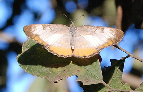 Orange, White & Brown Moth (flat)