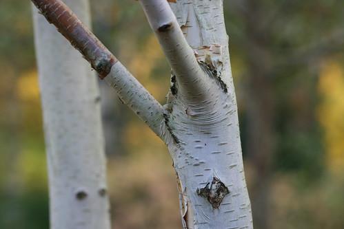 Silver Birch Tree 2