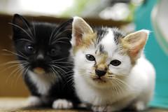 Cute Kittens (irwandy) Tags: cats cat kitten kittens cameron malaysia nd cameronhighlands teaplantation boh perak bohtea irwandy sungaipalas sungeipalas sgpalas ladangteh