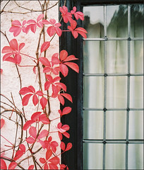 marina red (paul messerschmidt (europe)) Tags: street november autumn red england house window leaves virginia surrey creeper oldstreet 2007 wellhouse virginiacreeper thestreet fetcham theoldstreet thewellhouse naturewatcher film20072403