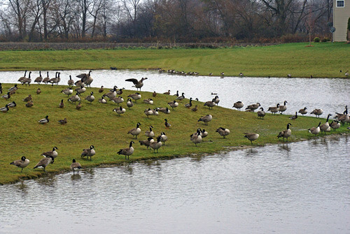 Geese-on-pond-2