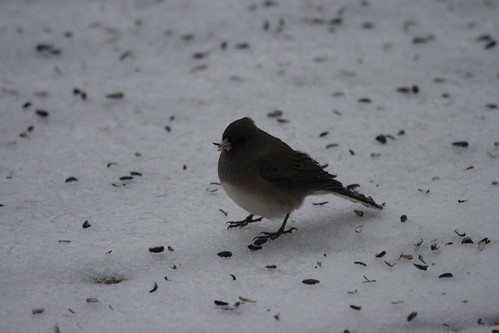 Dark eyed junco (slate)