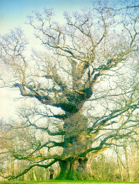 Majesty, or the Fredville Oak - an English or common oak (Quercus robur)