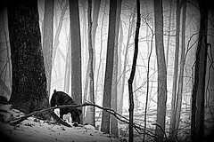 the stalking (paulhitz) Tags: wood winter light blackandwhite bw dog snow tree digital canon dark geotagged eos rebel blackwhite scary eyes woods december map michigan sinister tag maps evil places tags tagged spooky stalker boxer konrad prey connie scared predator geo geotag stalk bnw stalking 07 2007 mapped xti spookiness thelittledoglaughed paulhitz xticanoneosdigitalrebeleos