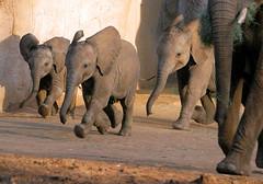 The three amigos! (kjdrill) Tags: california park wild usa baby elephant animal babies sandiego african fv10 elephants escondido babyboom kamile sanpasqualvalley khosi impunga 8227a