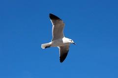 White Seagull Flying (Julian Rodriguez) Tags: white bird canon eos flying seagull flight free pajaro gaviota volar 40d