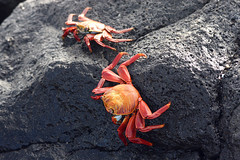 Sally Lightfoot Crab (Seymour, Galápagos, Ecuador) Photo