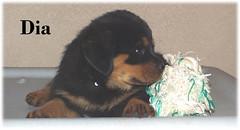 d4 (muslovedogs) Tags: dogs puppy rottweiler teaara zeusoffspring