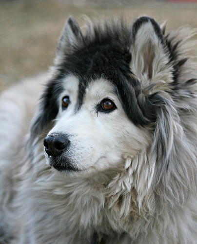 Related to The Westminster Kennel Club | Breed Information: Siberian