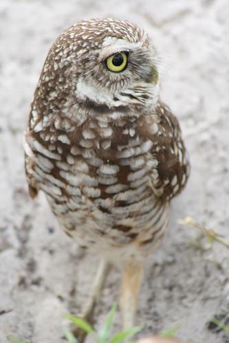 burrowing owls 1-26-08 043