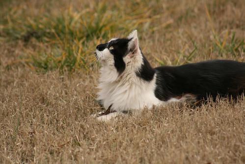 Black and White Cat - IMG_4733