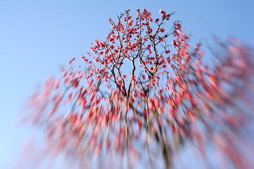 越谷梅林公園の早咲き