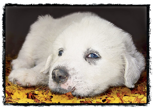 "Great Pyrenees Puppy ""Low Down"""