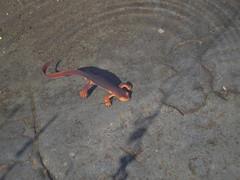 Ca newt 1
