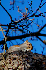 Squirrel in a tree (Explore) (Zed.Cat) Tags: blue sky tree nature animals grey nikon squirrel wildlife gray explore buds zc d40 march2008