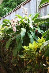 Flowering plant (jainnie.jenkins) Tags: flowers flower hawaii fragrant floweringtree floweringplant intoxicating