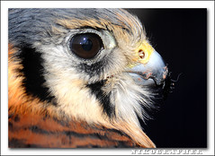 American Kestrel Portrait (Nikographer [Jon]) Tags: lighting light march mar nikon flash falcon remote 2008 sparrowhawk falco d300 sb800 falcosparverius offcameraflash sparverius sc29 marylandseasternshore fromjpg blackwatereaglefestival entensiontubes nikond300 caotive 20080315d30015492 thanksforallthefavejon iwillcommentandfavewhenicomehereok jss20081