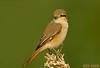 الاشول (N-S-S) Tags: bird birds nikon sigma 800mm طير عصفور طيور ناصر d2xs طائر اشول الصليهم الاشول