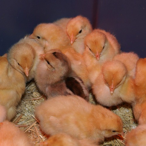 chick huddle
