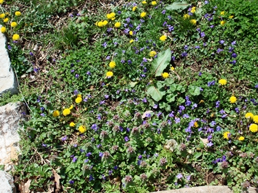 violets and dandelions 2