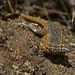 Say hello to my leetle friend (the western fence lizard)