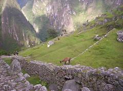Lama di Machu Picchu (Grabby Walls) Tags: travel peru machu picchu inca cuzco america cusco south llama valle perù sacra lama viaggi viaggio llamas sud sagrado blueribbonwinner viaggiare qosqo anawesomeshot top20travel theunforgettablepictures goldstaraward worldwidelandscapes natureselegantshots absolutelystunningscapes beautifulsecrets grabbywalls