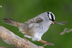 (#192) Best Studied Songbird (tinyfishy (Gone to Cuba)) Tags: white bird flying inflight sparrow soe crowned whitecrownedsparrow naturesfinest supershot diamondclassphotographer