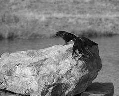 Ohne Titel (wpt1967) Tags: canon100300mm castroprauxel eos6d erinpark gefieder rabenkrähe rabenvogel ruhrgebiet ruhrpott vogel bird bw sw wpt1967