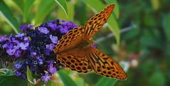 Le Tabac d'Espagne (passionpapillon) Tags: nature animal insecte papillon butterfly espagne d tabac passionpapillon 2017
