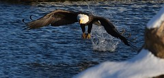 Fish lives matter.....not so much (David Sebben) Tags: fish bald eagle mississippi river rockisland illinois nature raptor