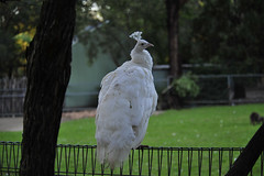 featherdale19.jpg (picsie14) Tags: white bird animals interestingness interesting wildlife sydney australia peacock nsw albino featherdale 80400mm australiananimals interestingness2 longlens birdsofaustralia d700 nikond700