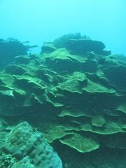 圖.6 層疊的膜形盤跚瑚