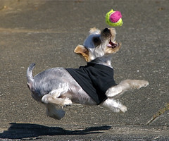 Ball catch (shinichiro*) Tags: santa dog yorkie japan nikon order d200 crazyshin soe 2007 1on1 aroundhome 28300 mywinners abigfave shieldofexcellence fetchtheball impressedbeauty superaplus aplusphoto diamondclassphotographer dogsall gettyselect order500 order20101106