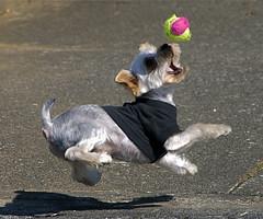 Ball catch (shinichiro*) Tags: santa dog yorkie japan nikon order d200 crazyshin soe 2007 1on1 aroundhome 28300 mywinners abigfave shieldofexcellence fetchtheball impressedbeauty diamondclassphotographer dogsall gettyselect order500 order20101106