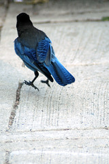 Steller's Jay, Sequoia National Park, CA (flyingibis) Tags: