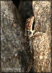 Lizard -id?