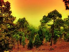* Pine Forest * (*atrium09) Tags: travel espaa colors pine forest spain canarias olympus tenerife hdr autunm photomatix atrium09 diamondclassphotographer rubenseabra thegoldenmermaid