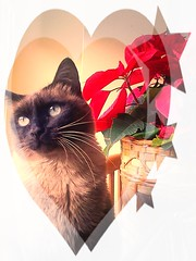 mi whilly (aliywhilly) Tags: cats pets cute love rouge navidad chats rojo kitten feline sweet amor awesome kitty pascua gatos amour kitties purr felinos