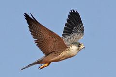 032054-IMG_4856 Grey Falcon (Falco hypoleucos) (ajmatthehiddenhouse) Tags: greyfalcon grayfalcon falcohypoleucos falco hypoleucos sa southaustralia bird slbflying 2007 globalbirdtrekkers tfowb australia avibase