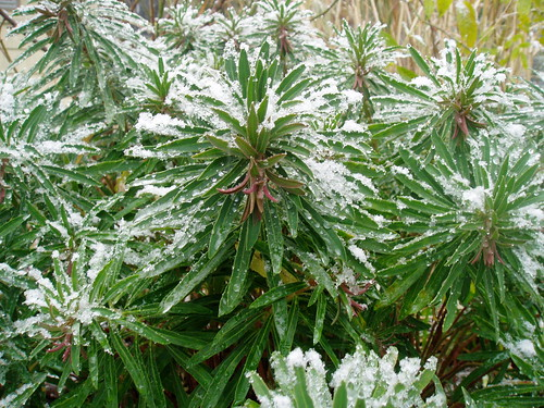 Euphorbia x martinii in snow