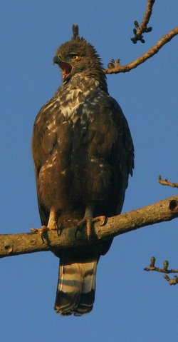 changeable hawk eagle calling 2312