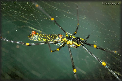 ... spider from Mindanao by nigel_xf.