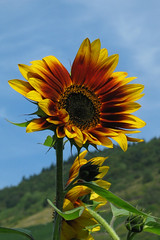 Sunflower (anadelmann) Tags: blue red macro rot yellow canon germany landscape deutschland bluesky gelb sunflower blau g3 makro landschaft cochem cond sunnyday pictureperfect mosel canonpowershot sonnenblume canonpowershotg3 naturesfinest v1000 lifeasiseeit impressedbeauty theunforgettablepictures be