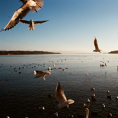 Starnberg (Peter Gutierrez) Tags: photo europe european germany german deutschland deutsch bayern bavaria bavarian lake starnberger sea see bird birds gull gulls swan swans blue sky water coast lakeside peter gutierrez petergutierrez film photograph photography