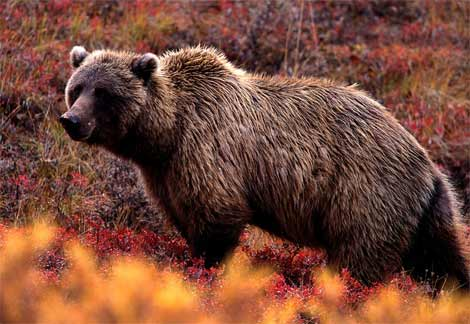grizzly-bear.jpg