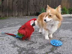 What game do you want to play? (1 of 6) (sansanparrots) Tags: blue friends red green colors corgi colorful play parrot pals macaw 2008 rani chowtime fluffycorgi kaleycorgi