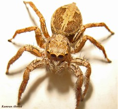 Spider One (Salticidae) (Photo Plus 1 (Kamran Ahmed)) Tags: soe supershot aplusphoto ysplix goldstaraward thegoldproject