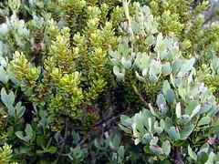 Phyllocladus alpinus with Olearia nummulariifolia on Mt. Ruapehu (tanetahi) Tags: newzealand alpine vegetation ruapehu phyllocladus alpinus