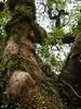 竹山鎮中和里救人老茄苳樹DSCN0188